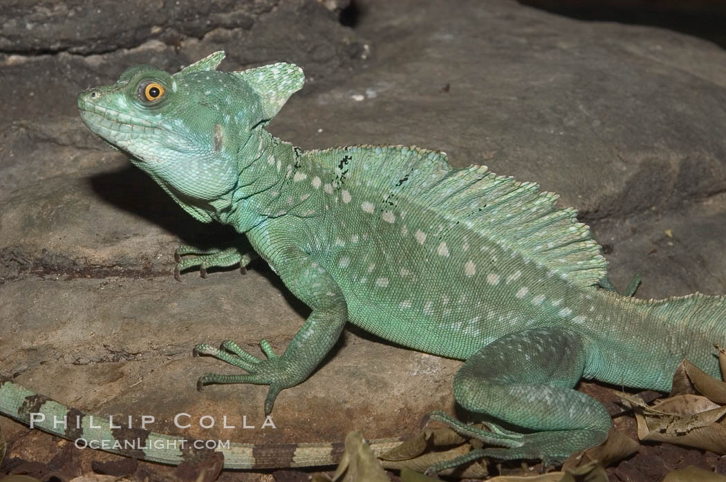 Plumed basilisk., Basiliscus plumifrons, natural history stock photograph, photo id 07940