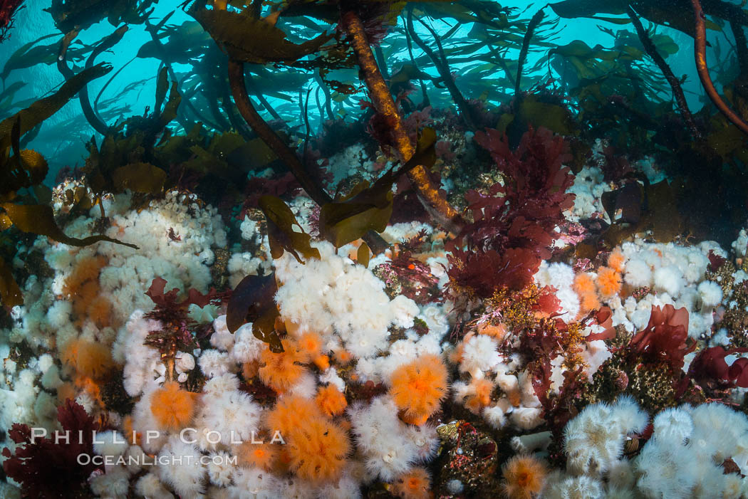 Plumose anemones and Bull Kelp on British Columbia marine reef, Browning Pass, Vancouver Island, Canada., Metridium senile, Nereocystis luetkeana, natural history stock photograph, photo id 34349