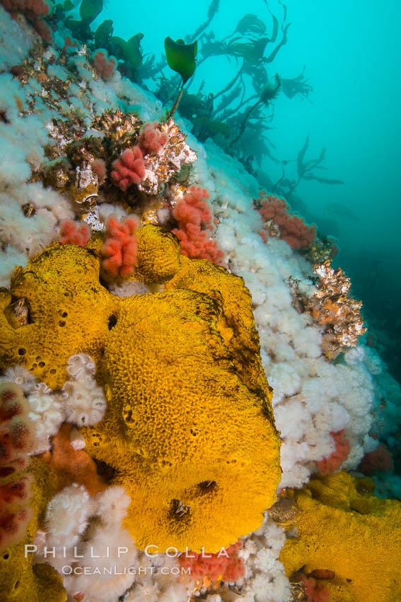 Image 34450, Rich invertebrate life on British Columbia marine reef. Plumose anemones, yellow sulphur sponges and pink soft corals,  Browning Pass, Vancouver Island, Canada. British Columbia, Canada, Gersemia rubiformis, Metridium senile, Halichondria panicea, Phillip Colla, all rights reserved worldwide. Keywords: bread crumb sponge, british columbia, browning pass, canada, gersemia rubiformis, halichondria panicea, invertebrate, marine, metridium senile, pacific, pacific northwest, pacific ocean, queen charlotte straight, soft coral, sponge, sulphur sponge, underwater, vancouver island.
