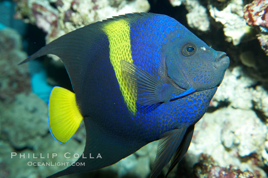Arabian angelfish., Pomacanthus asfur, natural history stock photograph, photo id 11758