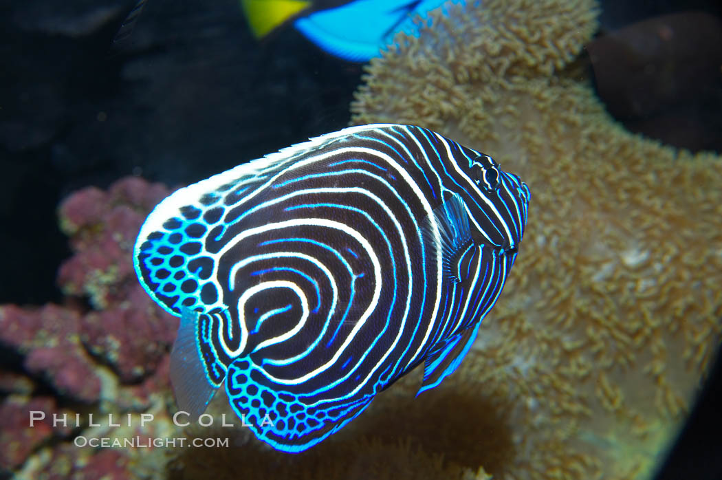 Emperor angelfish, juvenile coloration., Pomacanthus imperator, natural history stock photograph, photo id 13743