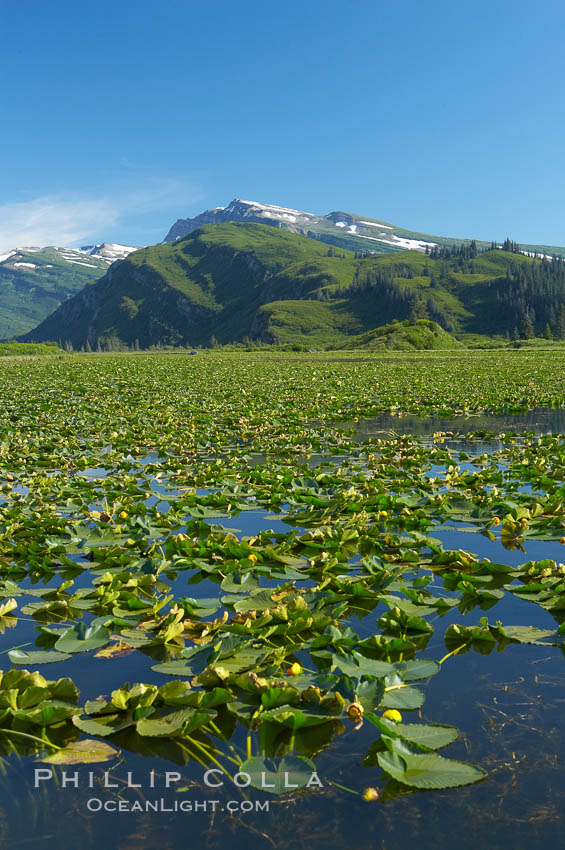 Pond covered with water lilys, near Silver Salmon Creek. Lake Clark National Park, Alaska, USA, natural history stock photograph, photo id 19087