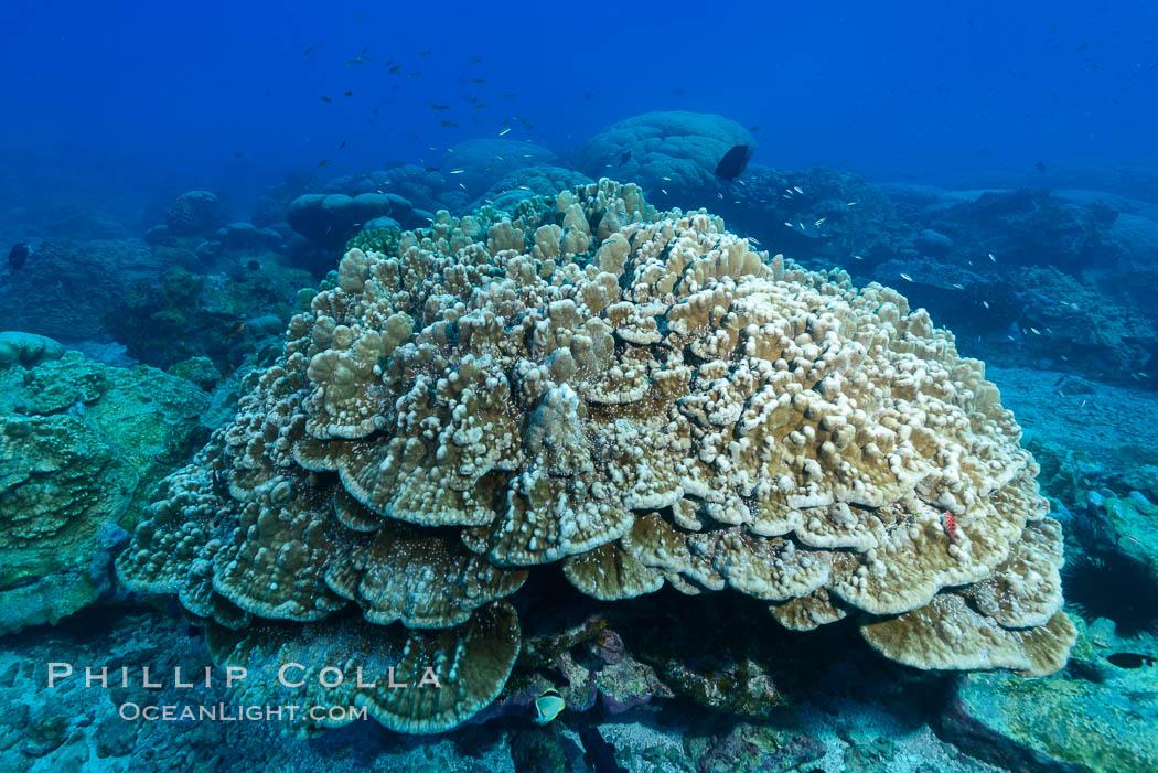 Plates of Porites arnaudi coral, Clipperton Island. Clipperton Island, France, Porites arnaudi, natural history stock photograph, photo id 33014