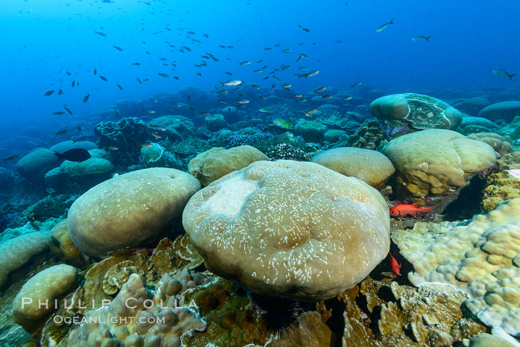 Coral reef expanse composed primarily of porites lobata, Clipperton Island, near eastern Pacific. France, Porites lobata, natural history stock photograph, photo id 32998