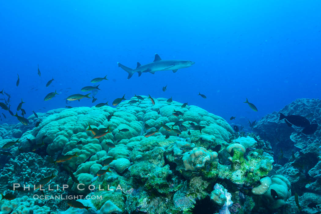 Coral reef expanse composed primarily of porites lobata, Clipperton Island, near eastern Pacific. Clipperton Island, France, Porites lobata, natural history stock photograph, photo id 33062