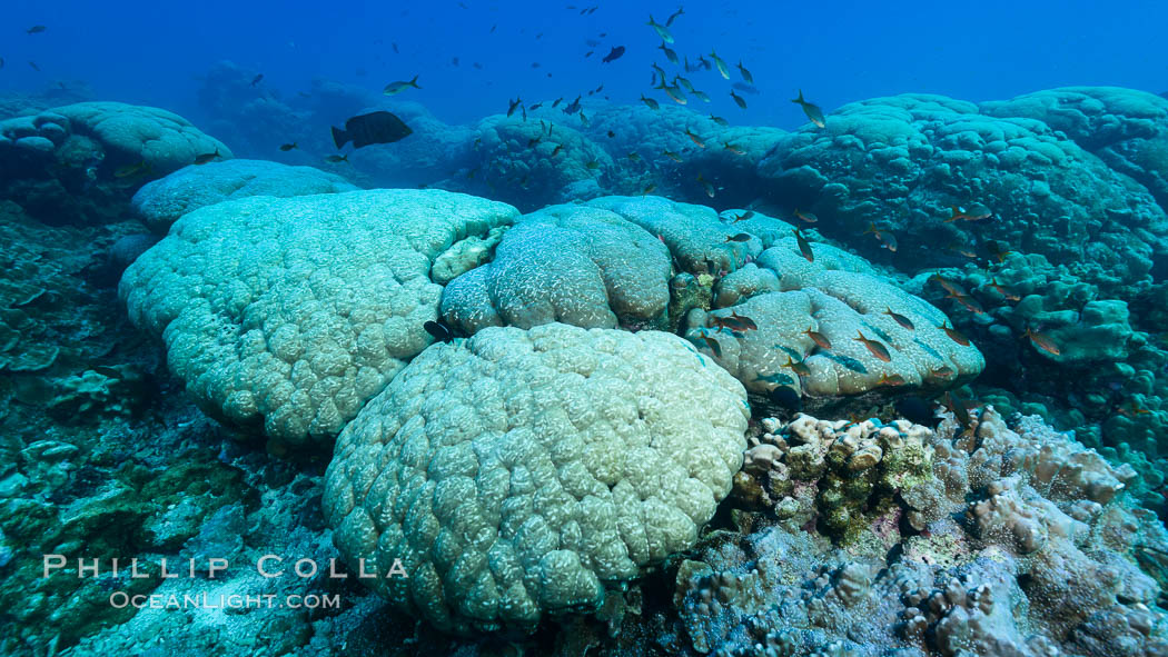Coral reef expanse composed primarily of porites lobata, Clipperton Island, near eastern Pacific. France, Porites lobata, natural history stock photograph, photo id 32956