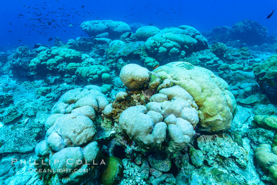 Coral reef expanse composed primarily of porites lobata, Clipperton Island, near eastern Pacific. Clipperton Island, France, Porites lobata, natural history stock photograph, photo id 32991