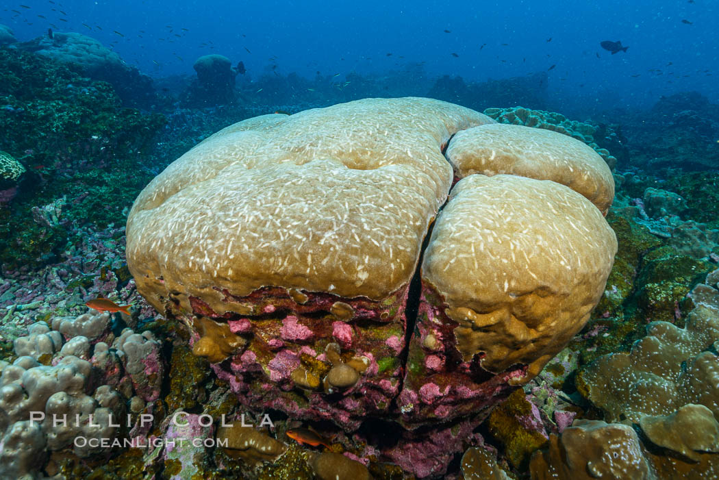 Coral reef expanse composed primarily of porites lobata, Clipperton Island, near eastern Pacific. Clipperton Island, France, Porites lobata, natural history stock photograph, photo id 33059