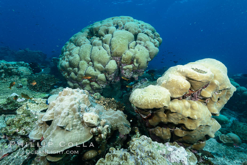 Coral reef expanse composed primarily of porites lobata, Clipperton Island, near eastern Pacific. Clipperton Island, France, Porites lobata, natural history stock photograph, photo id 33063