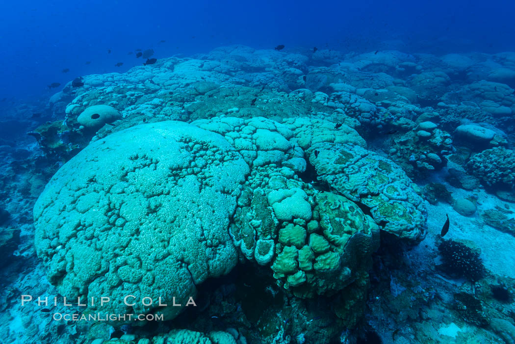 Coral reef expanse composed primarily of porites lobata, Clipperton Island, near eastern Pacific. Clipperton Island, France, Porites lobata, natural history stock photograph, photo id 32961