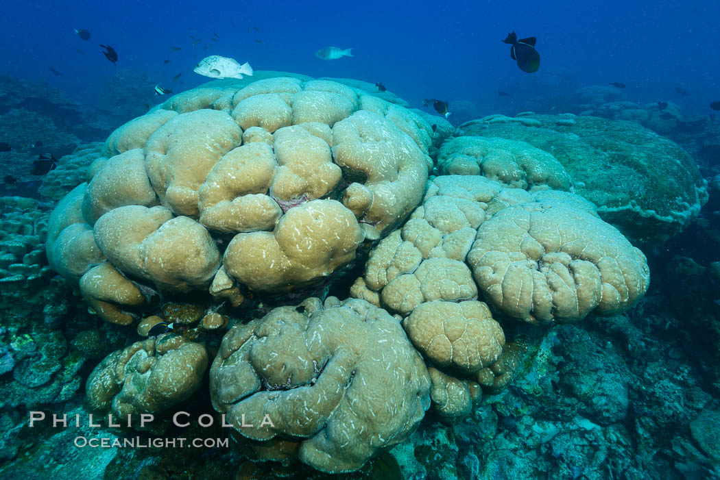 Coral reef expanse composed primarily of porites lobata, Clipperton Island, near eastern Pacific. Clipperton Island, France, Porites lobata, natural history stock photograph, photo id 33013