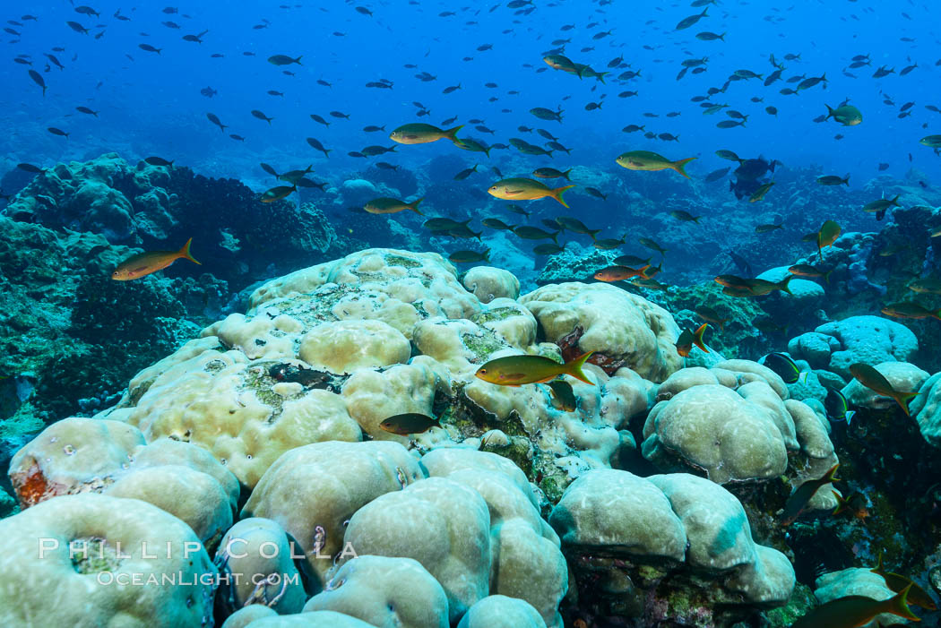 Image 33017, Coral reef expanse composed primarily of porites lobata, Clipperton Island, near eastern Pacific. Clipperton Island, France, Porites lobata, Phillip Colla, all rights reserved worldwide. Keywords: atoll, clipperton island, coral head, coral reef, france, ile de la passion, island, pacific, permit hc   1485   cab, permit hc 1485 cab, porites lobata, reef, underwater.