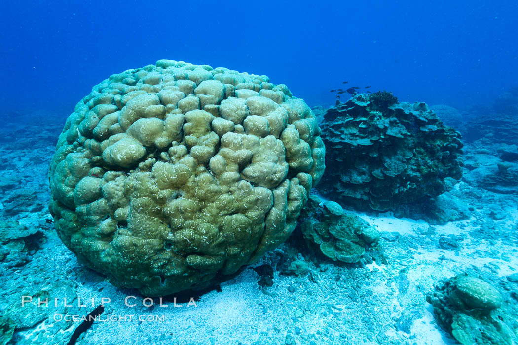 Image 33007, Coral reef of Porites sp., Porites lobata (rounded) and Porites arnaudi (platelike) comprise coral reef at Clipperton Island. Clipperton Island, France, Porites lobata, Porites arnaudi, Phillip Colla, all rights reserved worldwide. Keywords: atoll, clipperton island, france, ile de la passion, island, pacific, permit hc   1485   cab, permit hc 1485 cab, underwater.