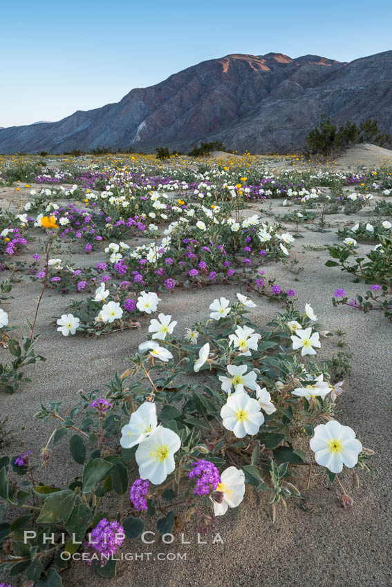 Dune evening primrose (white) and sand verbena (purple) mix in beautiful wildflower bouquets during the spring bloom in Anza-Borrego Desert State Park. Borrego Springs, California, USA, Oenothera deltoides, Abronia villosa, natural history stock photograph, photo id 30504