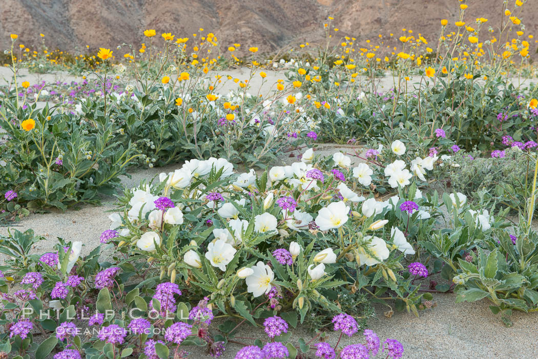 Dune evening primrose (white) and sand verbena (purple) mix in beautiful wildflower bouquets during the spring bloom in Anza-Borrego Desert State Park. Borrego Springs, California, USA, Oenothera deltoides, Abronia villosa, natural history stock photograph, photo id 30529