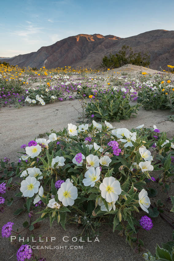 Dune evening primrose (white) and sand verbena (purple) mix in beautiful wildflower bouquets during the spring bloom in Anza-Borrego Desert State Park. Borrego Springs, California, USA, Oenothera deltoides, Abronia villosa, natural history stock photograph, photo id 30537