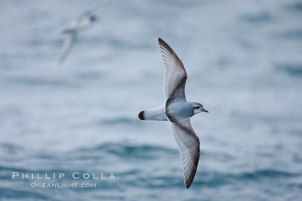 Prion in flight. Scotia Sea, Southern Ocean, Pachyptila, natural history stock photograph, photo id 24686