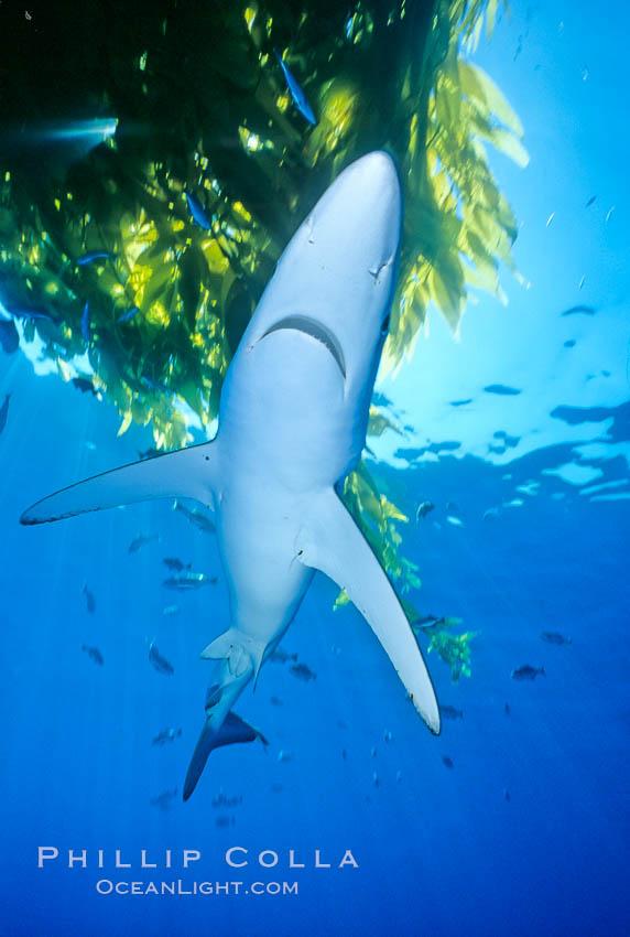 Blue shark underneath drift kelp, open ocean. San Diego, California, USA, Prionace glauca, natural history stock photograph, photo id 01006