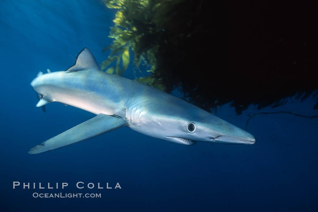 Blue shark and  offshore drift kelp. San Diego, California, USA, Prionace glauca, Macrocystis pyrifera, natural history stock photograph, photo id 01078