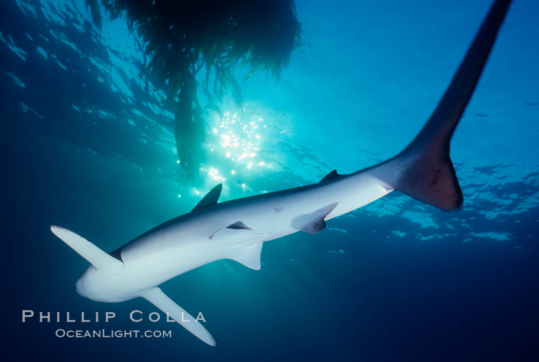 Blue shark. San Diego, California, USA, Prionace glauca, natural history stock photograph, photo id 01080