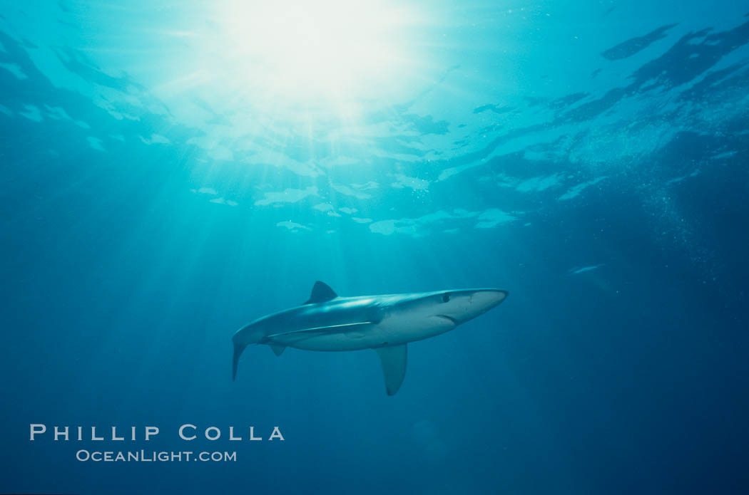 Blue shark. San Diego, California, USA, Prionace glauca, natural history stock photograph, photo id 00595