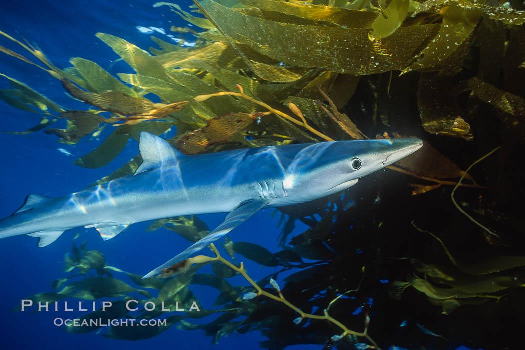 Blue shark and offshore drift kelp. San Diego, California, USA, Prionace glauca, Macrocystis pyrifera, natural history stock photograph, photo id 01079