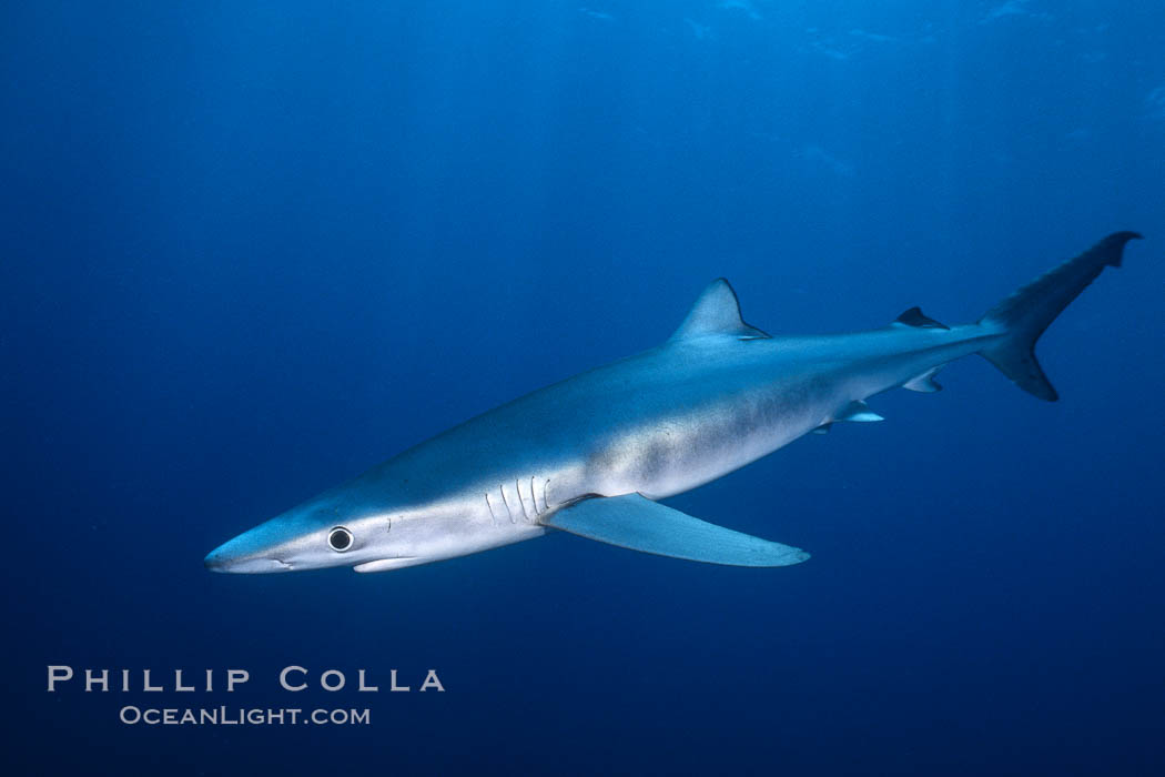 Blue shark underwater in the open ocean. San Diego, California, USA, Prionace glauca, natural history stock photograph, photo id 00997