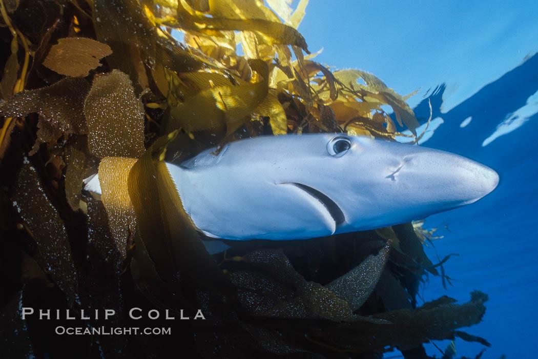 Blue shark underneath drift kelp, open ocean. San Diego, California, USA, Prionace glauca, Macrocystis pyrifera, natural history stock photograph, photo id 01081