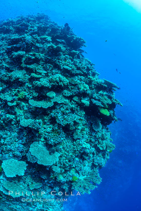 Pristine coral reef composed of many species of hard corals, 60' (20m) deep, Fiji. Wakaya Island, Lomaiviti Archipelago, natural history stock photograph, photo id 31755