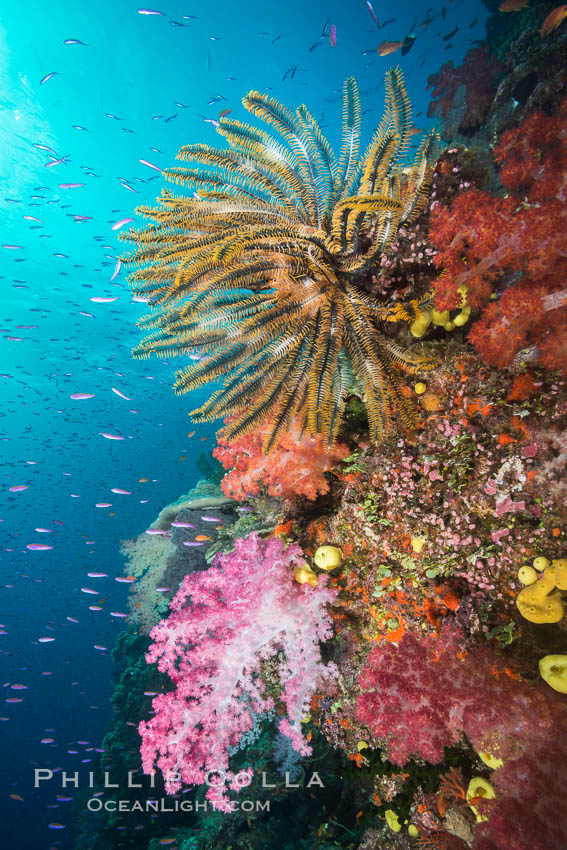 Pristine South Pacific tropical coral reef, with vibrant colorful dendronephthya soft corals, crinoids and schooling Anthias fishes, pulsing with life in a strong current over a pristine coral reef. Fiji is known as the soft coral capitlal of the world. Namena Marine Reserve, Namena Island, Dendronephthya, Pseudanthias, Crinoidea, natural history stock photograph, photo id 31410