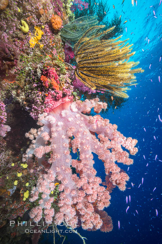 Pristine South Pacific tropical coral reef, with vibrant colorful dendronephthya soft corals, crinoids and schooling Anthias fishes, pulsing with life in a strong current over a pristine coral reef. Fiji is known as the soft coral capitlal of the world. Namena Marine Reserve, Namena Island, Fiji, Dendronephthya, Pseudanthias, Crinoidea, natural history stock photograph, photo id 31339
