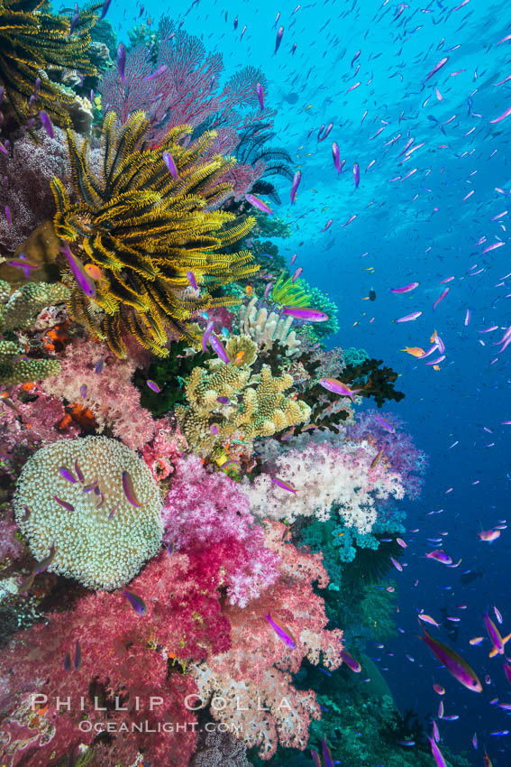Pristine South Pacific tropical coral reef, with vibrant colorful dendronephthya soft corals, crinoids and schooling Anthias fishes, pulsing with life in a strong current over a pristine coral reef. Fiji is known as the soft coral capitlal of the world. Namena Marine Reserve, Namena Island, Dendronephthya, Pseudanthias, Crinoidea, natural history stock photograph, photo id 31413