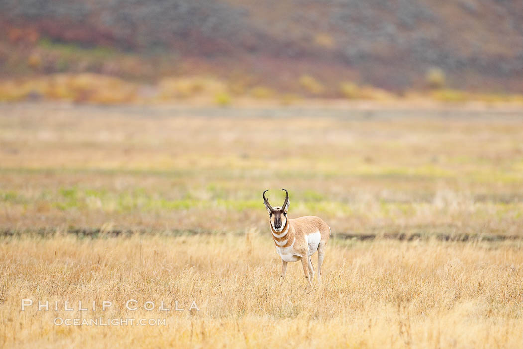 The Pronghorn antelope is the fastest North American land animal, capable of reaching speeds of up to 60 miles per hour. The pronghorns speed is its main defense against predators. Lamar Valley, Yellowstone National Park, Wyoming, USA, Antilocapra americana, natural history stock photograph, photo id 19628