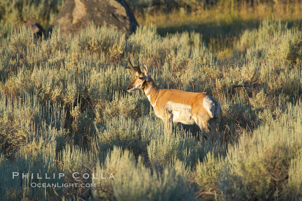Image 13079, Pronghorn antelope, Lamar Valley.  The Pronghorn is the fastest North American land animal, capable of reaching speeds of up to 60 miles per hour. The pronghorns speed is its main defense against predators. Lamar Valley, Yellowstone National Park, Wyoming, USA, Antilocapra americana, Phillip Colla, all rights reserved worldwide. Keywords: americana, animal, animalia, antilocapra, antilocapra americana, antilocapridae, artiodactyla, chordata, creature, lamar valley, mammal, national parks, nature, pronghorn antelope, usa, vertebrata, vertebrate, wildlife, world heritage sites, wyoming, yellowstone, yellowstone national park, yellowstone park.