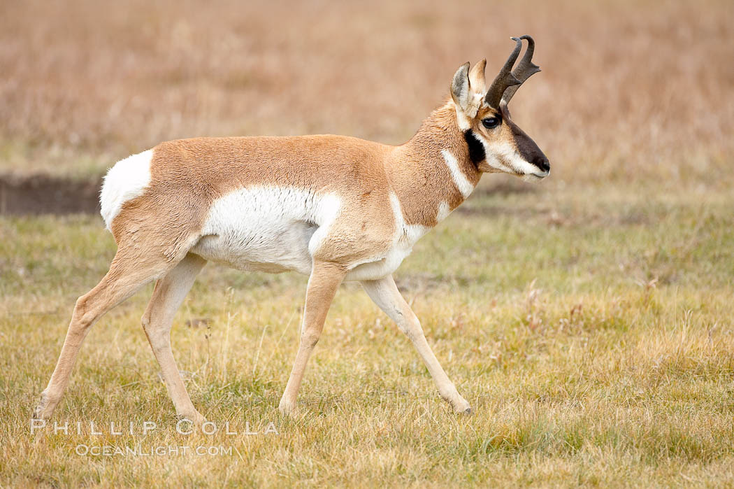 The Pronghorn antelope is the fastest North American land animal, capable of reaching speeds of up to 60 miles per hour. The pronghorns speed is its main defense against predators. Lamar Valley, Yellowstone National Park, Wyoming, USA, Antilocapra americana, natural history stock photograph, photo id 19627