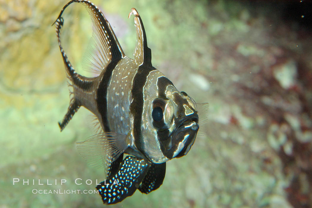 Image 09230, Banggai Cardinalfish.  Once thought to be found at Banggai Island near Sulawesi, Indonesia, it has recently been found at Lembeh Strait and elsewhere.  The male incubates the egg mass in his mouth, then shelters a brood of 10-15 babies in his mouth after they hatch, the only fish known to exhibit this behaviour.  Unfortunately, the aquarium trade is threatening the survival of this species in the wild., Pterapogon kauderni, Phillip Colla, all rights reserved worldwide. Keywords: animal, banggai cardinal fish, banggai cardinalfish, bar, cardinalfish, color and pattern, disruptive coloration, fish, fish anatomy, indo-pacific, marine fish, mask or hidden eye, pterapogon kauderni, stripe, underwater.