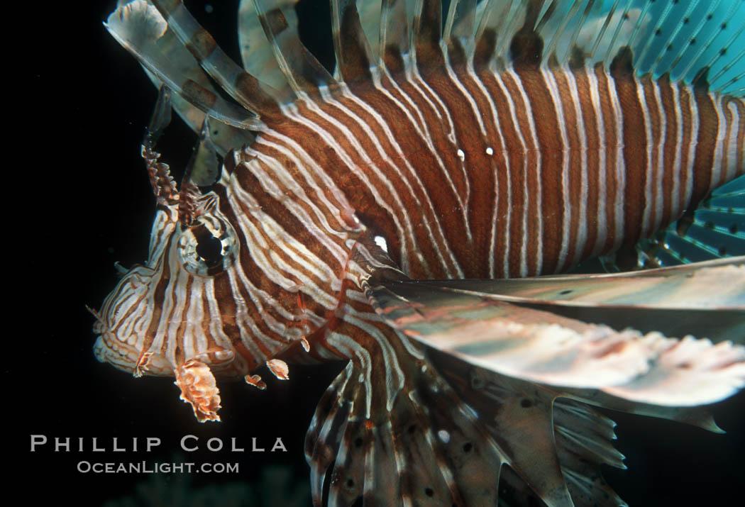 Lionfish. Egyptian Red Sea, Pterois miles, natural history stock photograph, photo id 05238