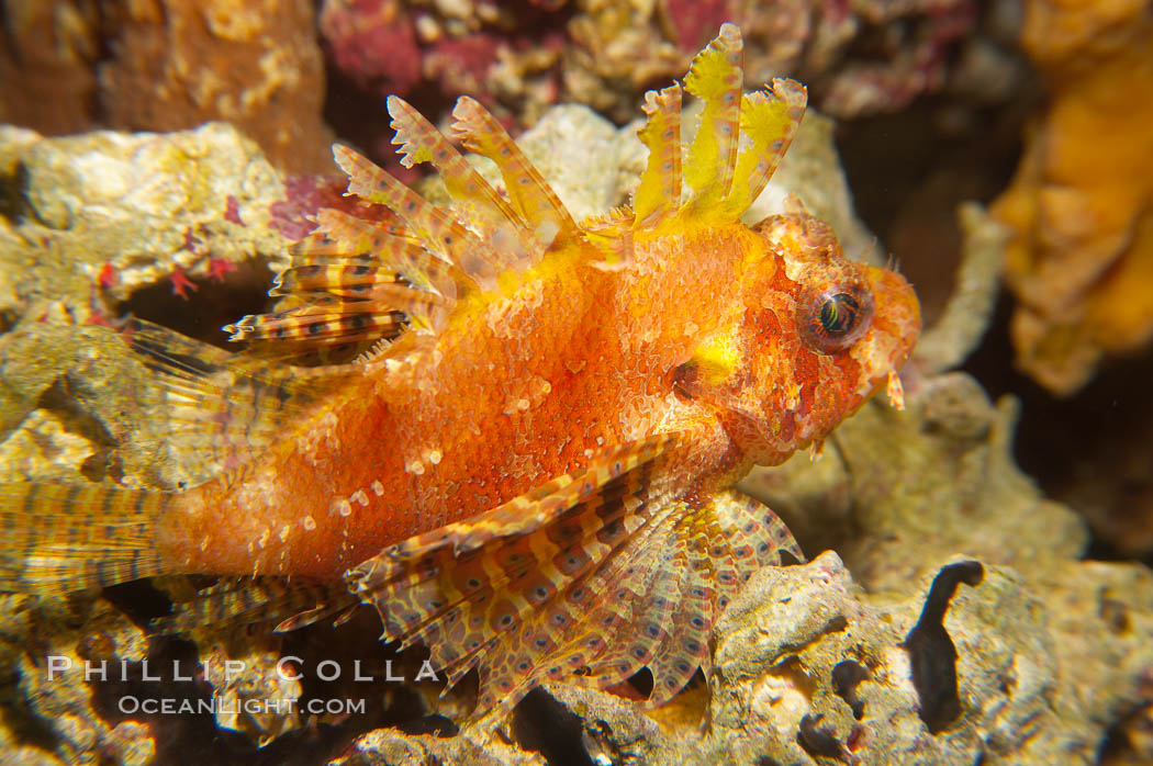 Juvenile lionfish., Pterois miles, natural history stock photograph, photo id 14505