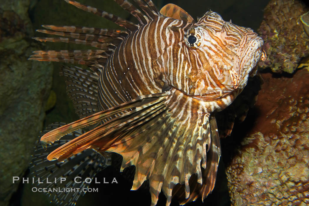 Lionfish., Pterois volitans, natural history stock photograph, photo id 12930