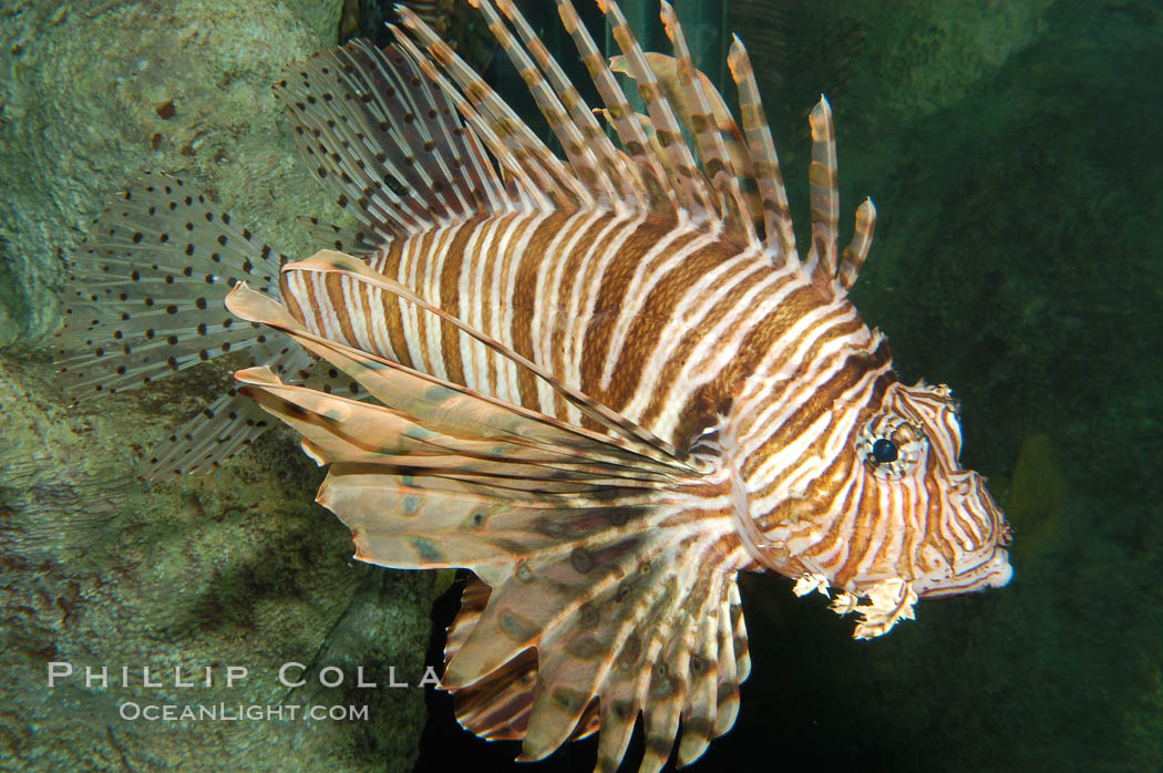Image 08863, Lionfish., Pterois volitans, Phillip Colla, all rights reserved worldwide. Keywords: animal, dangerous, fish, fish anatomy, indo-pacific, lionfish, lionfish or turkeyfish, marine fish, pterois volitans, spine, turkeyfish, underwater, venom, venomous.