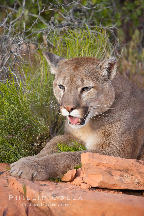 Mountain lion., Puma concolor, natural history stock photograph, photo id 12346