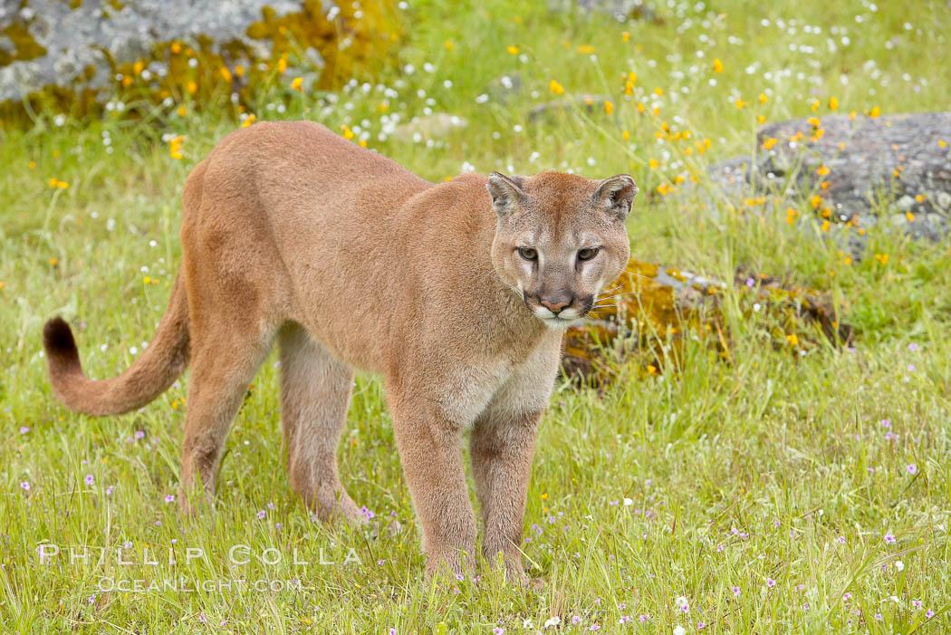 Mountain lion, Sierra Nevada foothills, Mariposa, California., Puma concolor, natural history stock photograph, photo id 15806