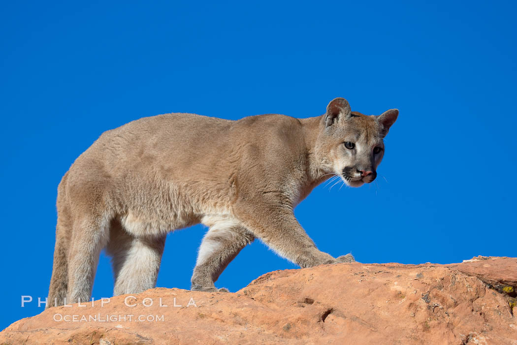 Mountain lion., Puma concolor, natural history stock photograph, photo id 12332
