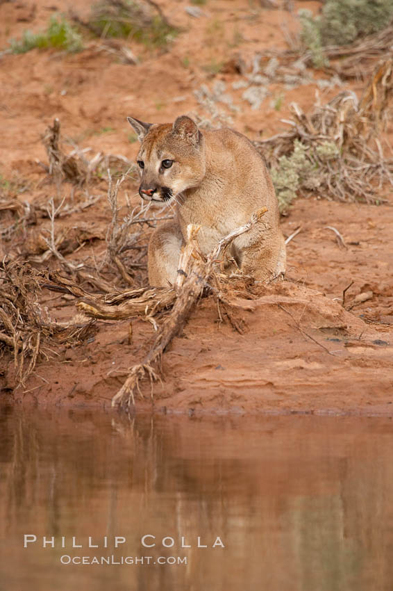 Mountain lion., Puma concolor, natural history stock photograph, photo id 12340