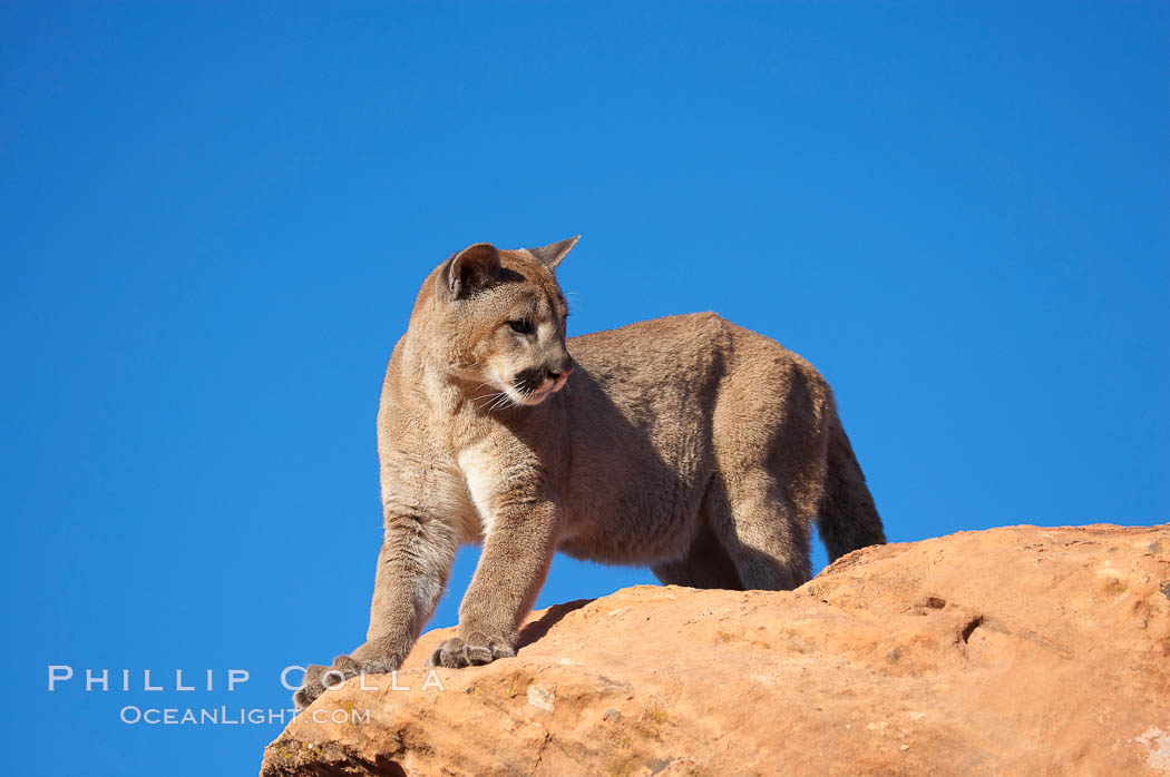 Mountain lion., Puma concolor, natural history stock photograph, photo id 12380