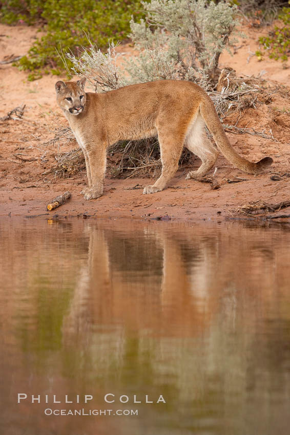 Mountain lion., Puma concolor, natural history stock photograph, photo id 12388