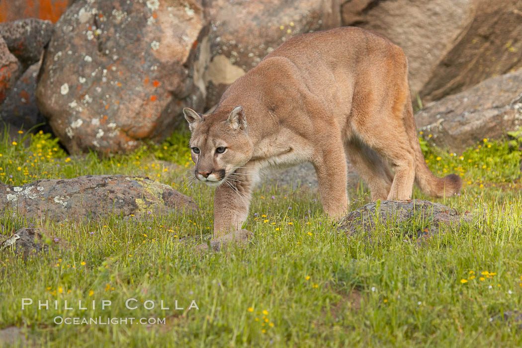 Image 15796, Mountain lion, Sierra Nevada foothills, Mariposa, California., Puma concolor, Phillip Colla, all rights reserved worldwide. Keywords: animal, animalia, carnivora, carnivore, catamount, chordata, concolor, cougar, creature, deer tiger, felidae, feliformia, felinae, le�n, le�n americano, le�n bayo, le�n colorado, le�n de monta�a, mammal, mitzli, mountain lion, moutain lion, nature, onza bermeja, panther, puma, puma concolor, red tiger, vertebrata, vertebrate, wildlife.