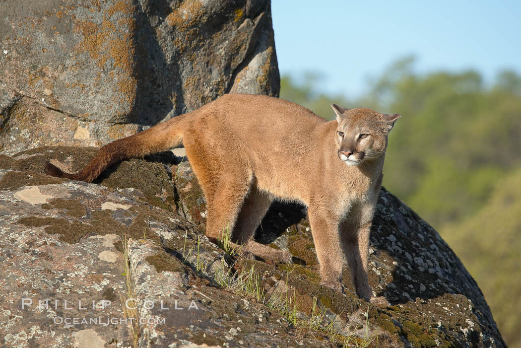 Mountain lion, Sierra Nevada foothills, Mariposa, California., Puma concolor, natural history stock photograph, photo id 15808