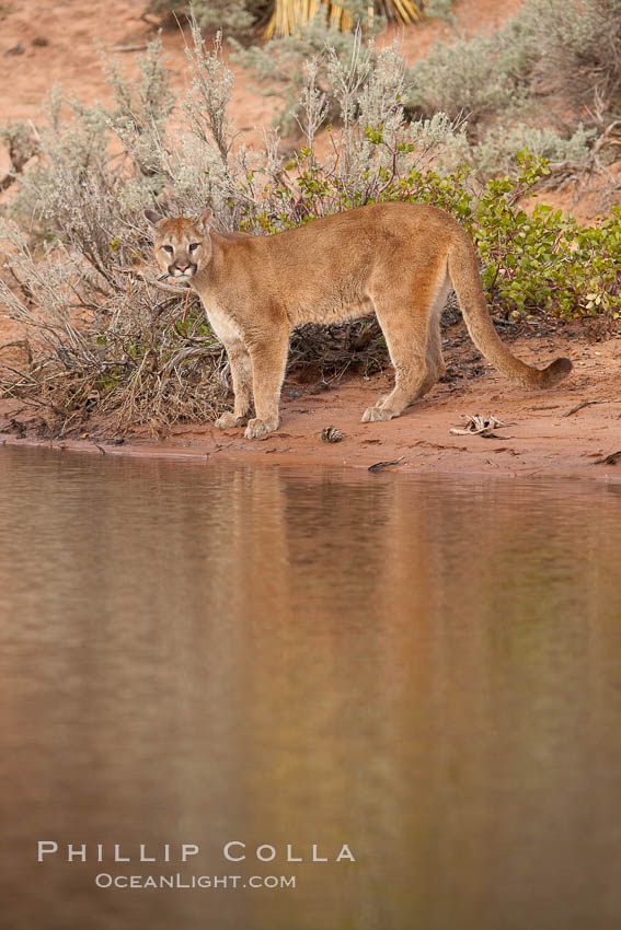 Mountain lion., Puma concolor, natural history stock photograph, photo id 12387