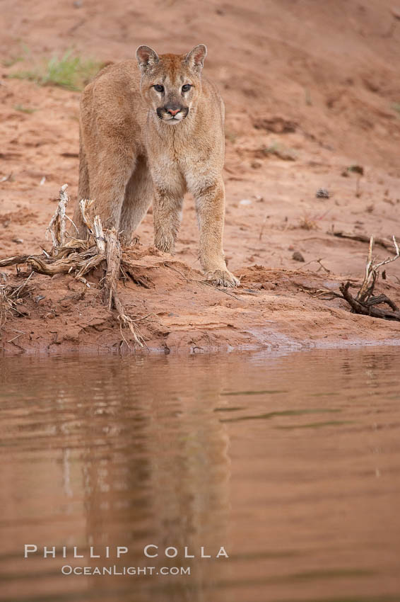 Mountain lion., Puma concolor, natural history stock photograph, photo id 12391